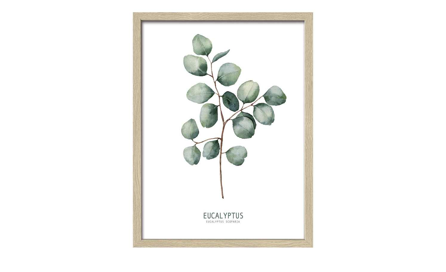 Different Eucalyptus Branches II