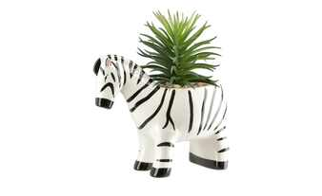 Sukkulente im Topf  Zebra