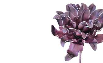 Soft Flower  Protea